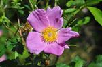 Glansbladet Rose (Rosa virginiana)